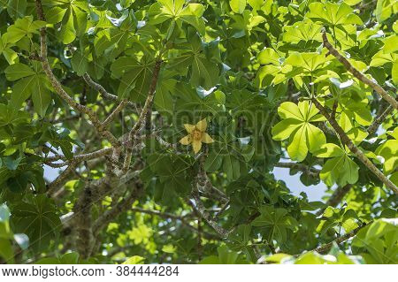 A Yellow Flower On A Baobab Tree With Green Leaves In The Background On A Sunny Day On The Island Of