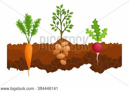 Vegetables Growing In The Ground. One Line Sugar Beet, Radishe, Potatoes. Plants Showing Root Struct