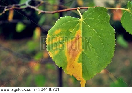 Aspen Leaf Began To Turn Yellow On A Branch In The Forest