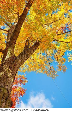 Upward View Of A Maple Tree With Bright Golden Autumn Foliage Leaves Against Blue Sky
