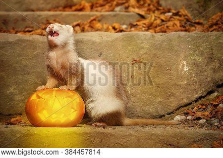 Champagne Ferret Posing With Halloween Jack-o'-lantern Pumpkink