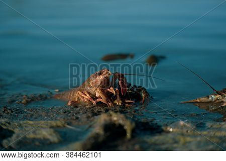 Freeing Bulgarian Astacus Astacus, Crayfish, On The Shore Of A Lake.