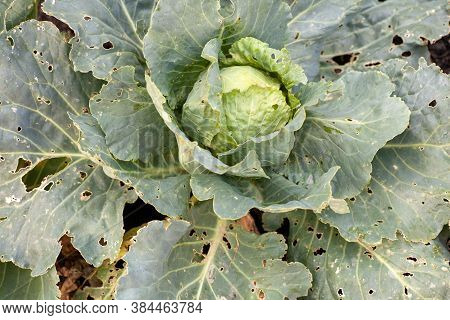 Cabbage Diseases. Cabbage Leaves Damaged By Pests. The Caterpillars Ate The Cabbage Worm Leaves.