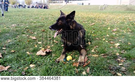 Trained Dog At The Police Service. The Dog Participates In Model Police Demonstrations. On Command,