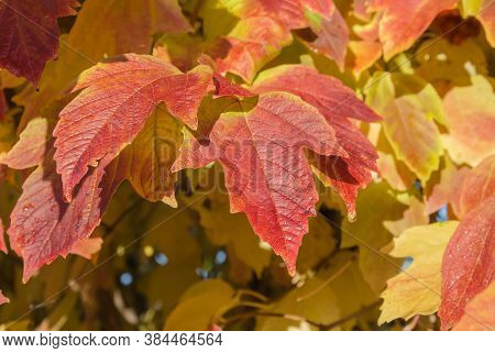 Rime On Red Viburnum Leaves, Cool Autumn Morning, Close Up