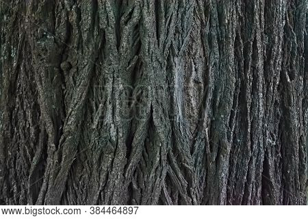 Very Old Linden Bark Texture Close-up. Abstract Background Of Linden Bark Close Up.
