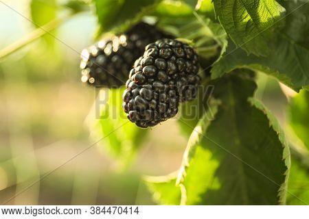 Blackberry Bush With Ripe Berries In Garden, Closeup