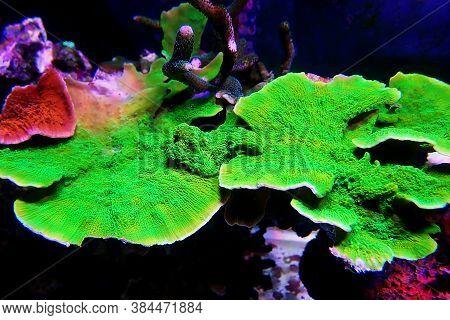 Green Montipora Capricornis Plate Sps Coral In Aquarium