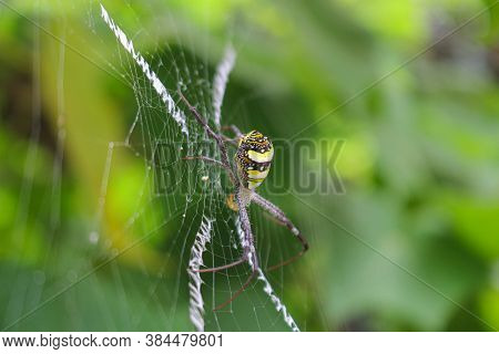 The Most Beatyfull Spider,spider Siting On The Net,spider In Asis