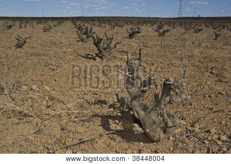 Naked Vineyards in winter season