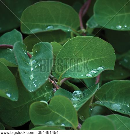 European Fly Honeysuckle Lonicera Xylosteum Periclymenum Dwarf Woodbine Shrub, New Young Green Plant