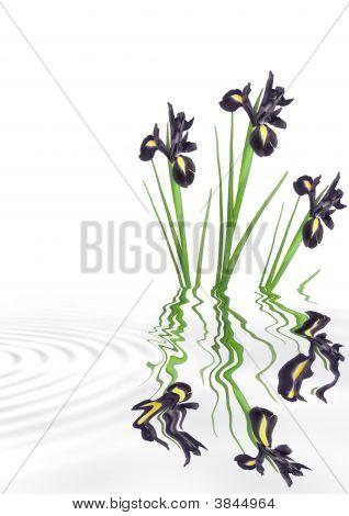 Iris Flower Beauty