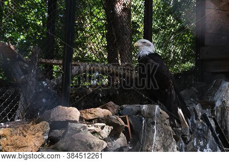 Birds Eagles In Captivity, Captives Of The Zoo