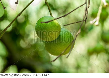 Two Green Lemons Weigh Close-up On A Lemon Tree. The Background Is Out Of Focus.
