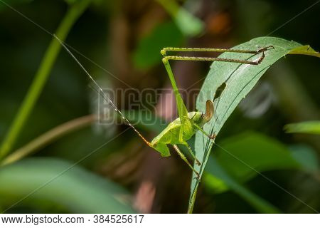 Juvenile Fork-tailed Bush Katydid (scudderia Furcata). Raleigh North Carolina.