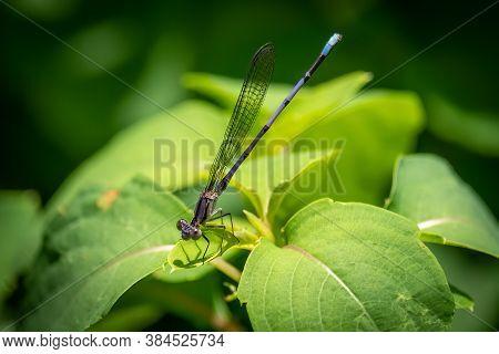 Violet Dancer (argia Fumipennis Ssp. Violacea). Raleigh, North Carolina.