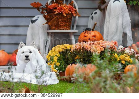 Funny Dog West Highland White Terrier Dressed In Ghost Costume Is Sitting Near Decorated With Pumpki