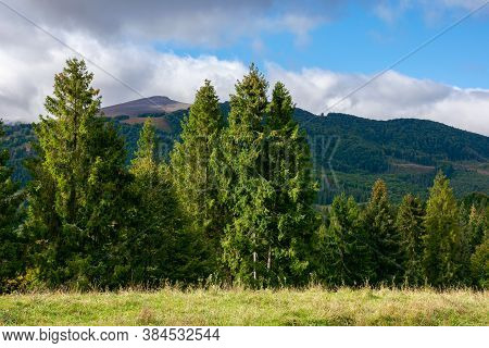 Spruce Trees On The Meadow In Mountains. Dry And Sunny September Weather With Clouds On Thesky. Borz
