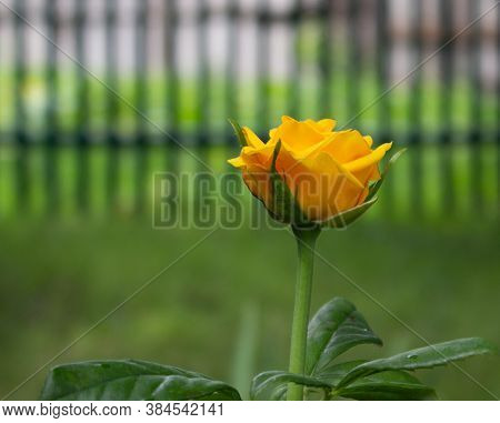 Yellow Rose On A Thin Stalk On A Blurred Background Of The Picket Fence. Selective Focus. Conception