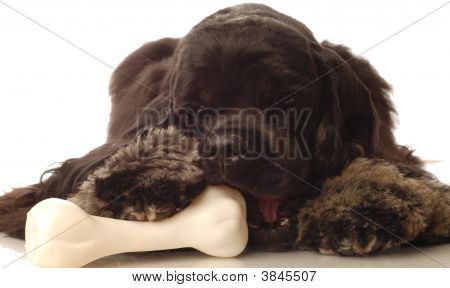 poster of american cocker spaniel chewing on dog bone