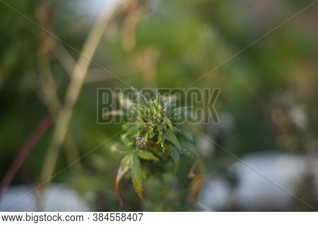 Marijuana Grows On The Street. The Plant Is Banned In Many Countries. Hemp Contains Alkaloids. Medic
