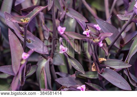 Tradescantia Pallida More Commonly Known As Wandering Jew Or Walking Jew. Other Common Names Include