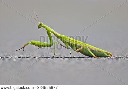 Green Praying Mantis On A Background Of Asphalt. European Mantis Or Praying Mantis, Mantis Religiosa