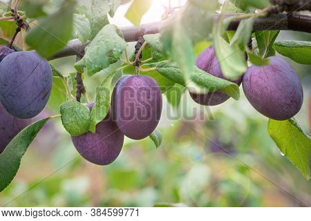 Plum Fruit On A Tree Branch, Plum Harvest In The Garden, Fruit Tree With Ripe Fruits