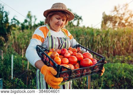 Woman Farmer Holding Box Of Red Tomatoes On Eco Farm. Picking Autumn Crop Of Vegetables. Farming, Ga