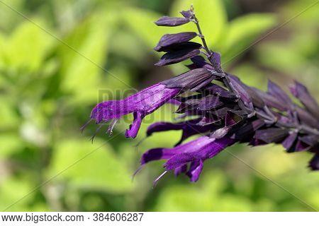 Flower Of A Hummingbird Sage, Salvia Guaranitica