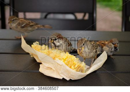 Four Gray Brown Sparrows Pecking Corn In Paper Packaging On The Wooden Table Outdoor, Close-up.