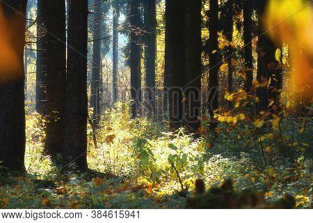 Woods Landscape. Sunny Autumn Day In Woods. Dark Trunks Of Trees. Sunlights Among Trunks Of Trees. G