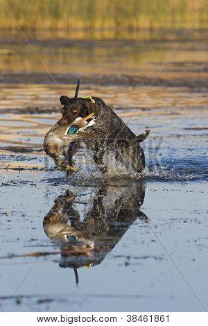 Hunting dog Retrieving a duck