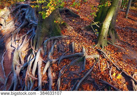 Tree External Roots With Autumn Colorful Foliage