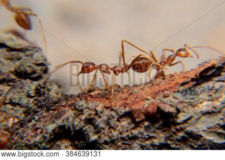 Weaver Ants Or Green Ants. Weaver Ants Live In Trees And Are Known For Their Unique Nest Building Be