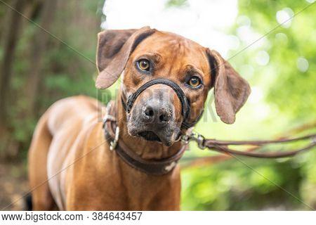 Beautiful Dog Rhodesian Ridgeback Hound Outdoor Portrait On A Forest Background