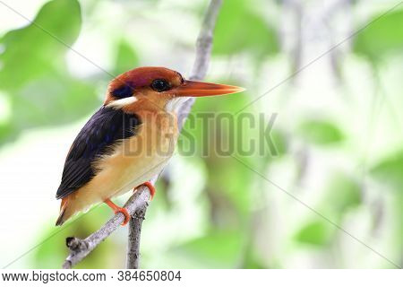 Juvenile Of Oriental Dwarf Kingfisher Perching On Thin Branch Under Bushy Cover Over Small Stream In