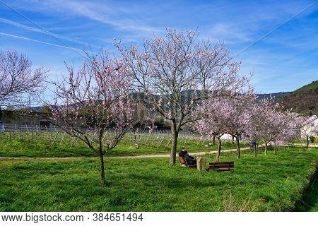 Gimmeldingen, Germany - Mar 15, 2020: Almond Trees, Prunus Dulcis Blooming, Southern Wine Street, Gi