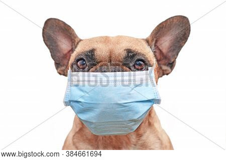 French Bulldog Dog Wearing Medical Face Mask In Front Of White Background