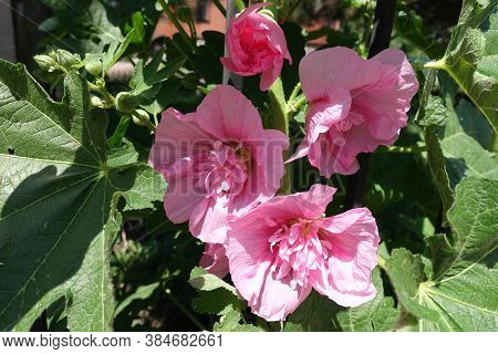 Bud And Three Light Pink Flowers Of Double Hollyhock In Mid June
