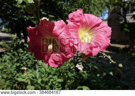 Two Cerise Red Flowers Of Common Hollyhock In August