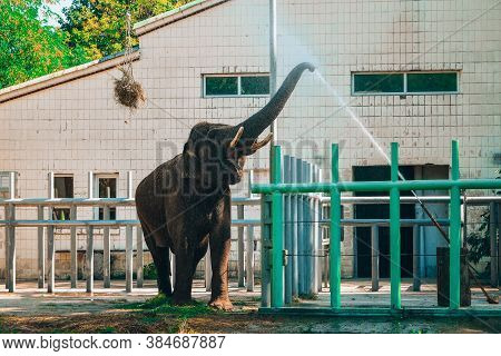 Elephant In Zoo. Portrait Of The Indian Elephant Drinks Water With His Trunk . Asian Elephant, Eleph