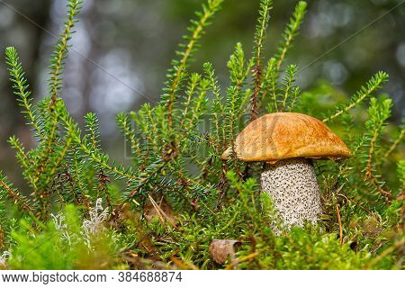 Edible Orange-cap Mushroom Growing In Green Moss. Leccinum Aurantiacum Harvesting Mushrooms In Fores
