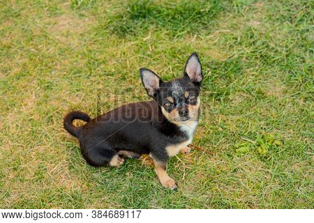 A Black And Tan Purebred Chihuahua Dog Puppy Standing In Grass Outdoors And Staring Focus On Dog's F
