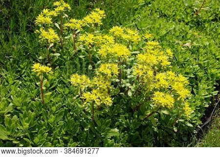 Yellow Flowers Of Sedum Kamtschaticum In May