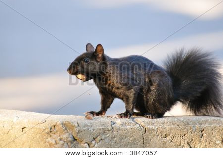 Black Squirrel With Acorn