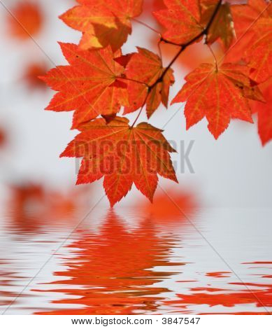 Red Wine Maple Leaf Abstract