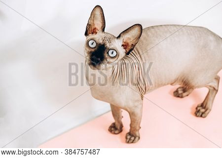 Portrait Of The Canadian Sphinx With Blue Eyes. Hairless Hypoallergenic Cat.