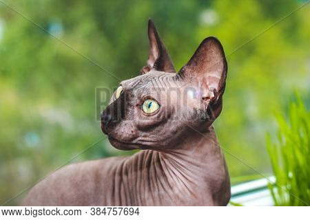Portrait Of A Canadian Sphinx With Green Eyes. Hairless Hypoallergenic Cat.