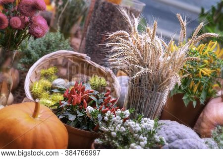 Festive Rustic Composition With Fresh Bright Pumpkins, Wheat Ears, Flowers And Decorative Pepers, Co